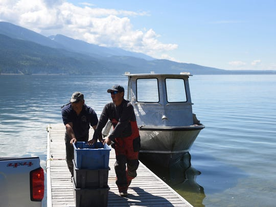 In this June 20, 2018, photo, Joe Santos, left, and Woody Red Cloud transport bins of lake trout to the Native Fish Keepers processing facility at Blue Bay on Flathead Lake near Polson, Mont. Populations of non-native lake trout and whitefish have been growing since they were introduced to Flathead Lake around 1905. Their population exploded in 1981, when mysis shrimp introduced to lakes above Flathead made their way down to the big lake. That population explosion meant lake trout began crowding out native bull and cutthroat trout. (Casey Kreider/The Daily Inter Lake via AP)