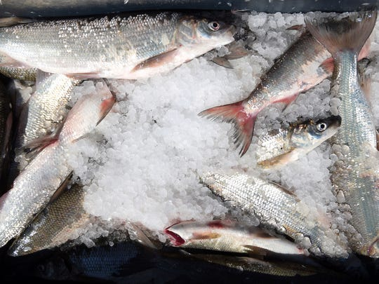 In this June 20, 2018, photo, a bin full of lake trout