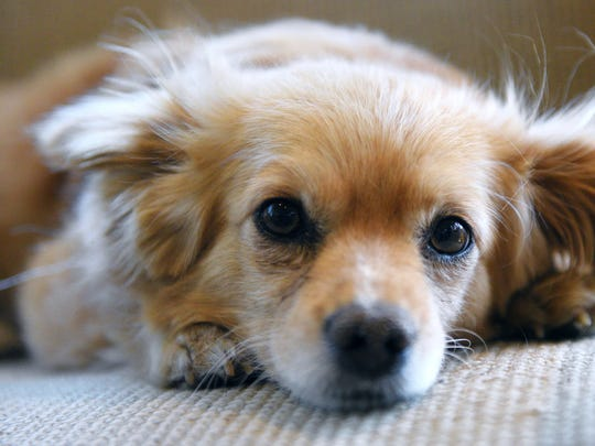 Seeley, a hospice dog with Stage IV lymphoma, rests