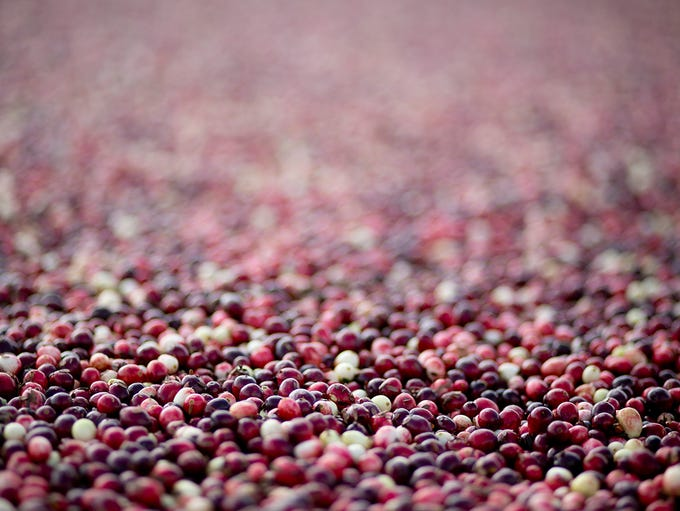 Cranberries float on the water before they are pushed