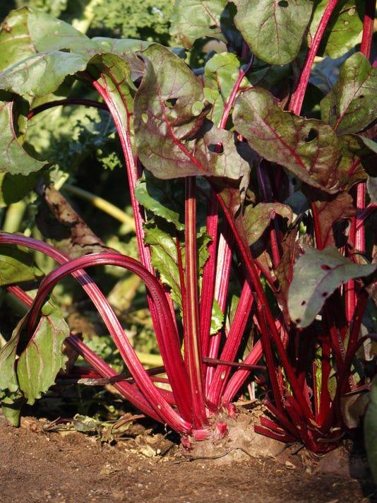 IMG_Gardening-Beets_2_1_RA93HF0D.jpg_20141114.jpg