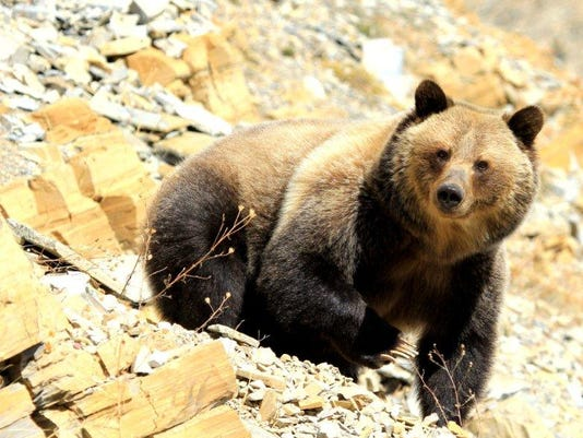grizzly file photo