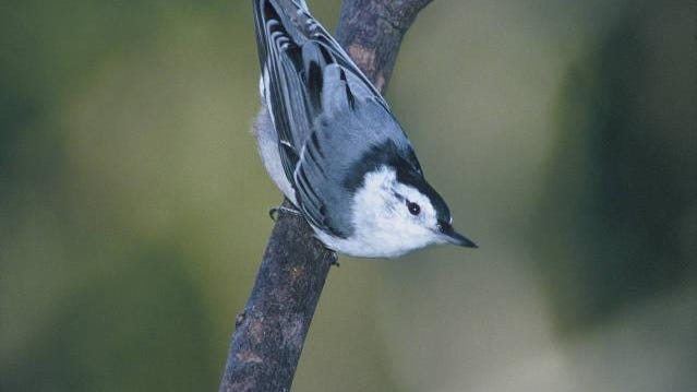 A white-breasted nuthatch can climb down trees head first.