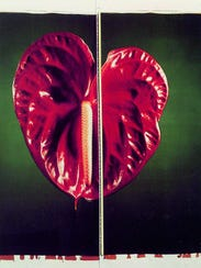 'Anthurium' is a 1987 color Polaroid diptych mounted on aluminum in two panels by Chuck Close. His large, multi-panel color Polaroids of anthurium or chrysanthemum blossoms appear like botanical documentation with their incredible specificity. Yet they have been aptly described as 'oddly redolent of human anatomy.'