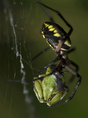 A yellow garden spider captures a tree frog.
