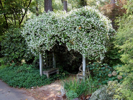 :  A vigorous grower that reaches 20 to 30-feet tall, Confederate jasmine provides a handsome cloak for an arbor.