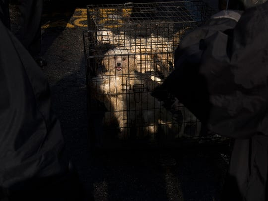 Neglected dogs in a cage after being removed by Paterson