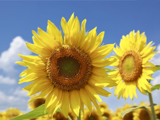 Learn to paint sunflowers in Elmer.