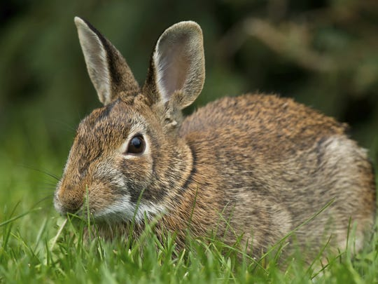 Hawks, owls, foxes, coyotes and weasels are predators of the eastern cottontail rabbit.