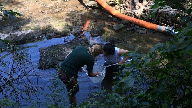 Biologists from the Tennessee Department of Environment and Conservation look for crayfish and other aquatic creatures in Sevenmile Creek before engineers tore down the dam.