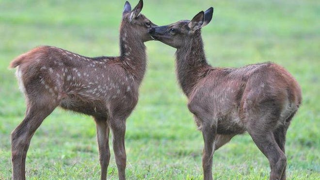 Two elk fawns nuzzle each other in play in the Cataloochee area of Great Smokies Mountains National Park