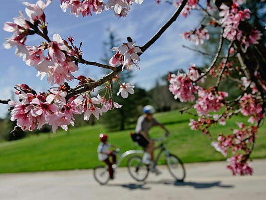The cherry blossoms at Lake Balboa are just beginning to bloom their annual rite of spring as Y.C.S
