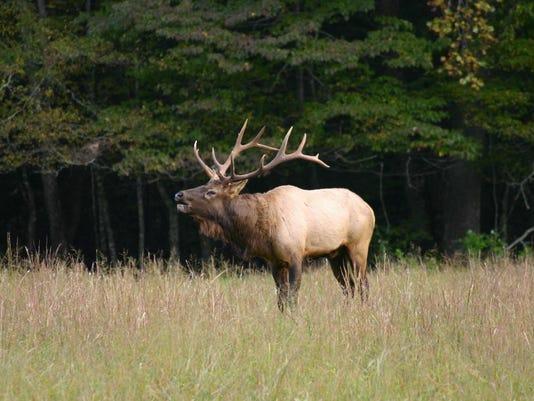 Bugling elk .jpeg