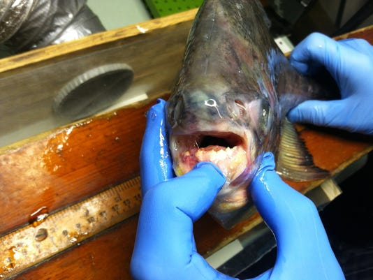 636064711099452942-Luft-Pacu-mouth-July-2014.jpg