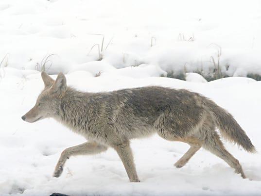 Coyote-Snow