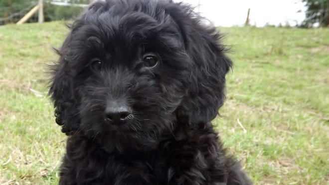 Virgil, 10-week old cockapoo.