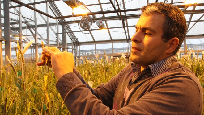 Mohsen Mohammadi inspects a wheat stem for his wheat breeding research in a greenhouse at Purdue University on Monday, Jan. 30, 2017. Mohammadi is one of several faculty at Purdue who are originally from Iran, one of seven countries temporarily banned from travel to the U.S. under President Donald Trump's executive order issued on Jan. 27, 2016.