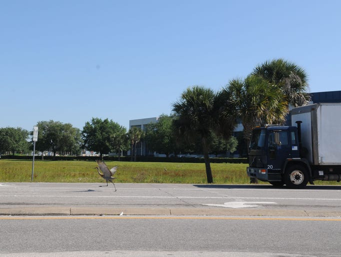 Sandhill cranes continue to cause traffic problems at the corner of NASA Boulevard and Evans Road. Cars were avoiding them Wednesday morning just after 10 a.m.
