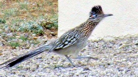 The roadrunner stayed on the ground.