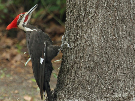 Pileated woodpeckers like to build their nest in standing