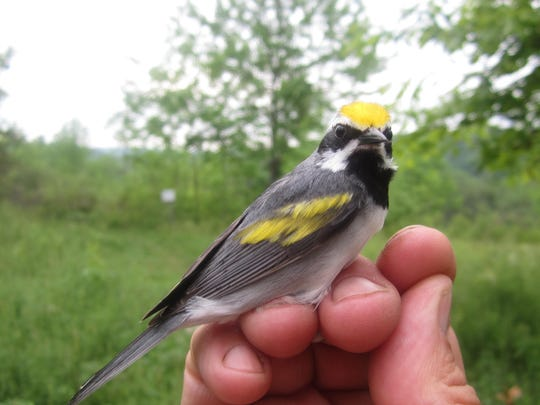 Mark LaBarr, conservation program manager with Audubon Vermont, has worked with Vermont Gas to curtail construction in nesting areas of the golden-winged warbler.