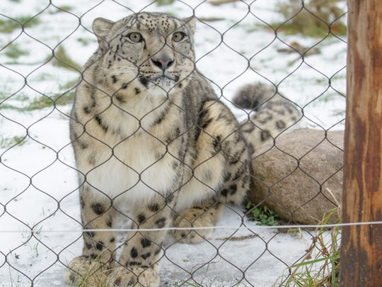 Raj, the snow leopard at Binder Park Zoo, isn't bothered by winter weather.