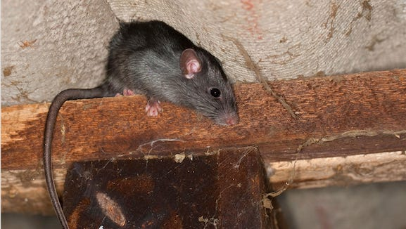 The Fort Myers area is ranked fifth across the U.s. for roof rat infestations, according to information from the Terminix company.