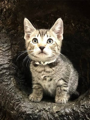 Henry is a domestic short hair brown Tabby kitten that needs a home. He's at the Nashville Humane Association.