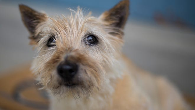 Robbie, an old Scottish terrier, came to Waukesha County from Columbia County where his owner died at their Poynette home in May. Robbie stayed with the lifeless man for three days before he was found. Robbie is in a foster home in Menomonee Falls now and is up for adoption.