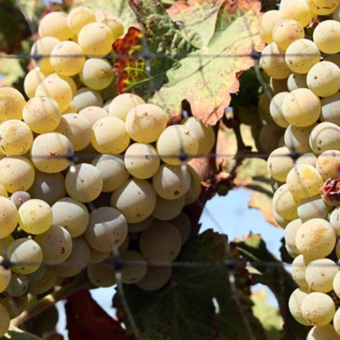 The wine grapes mature in warm and cool climates