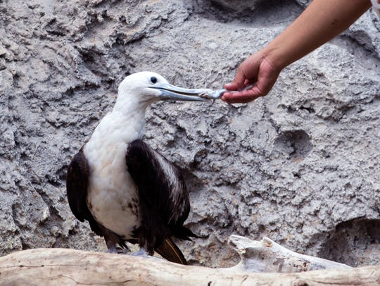 Storm, a magnificent frigatebird, was injured during
