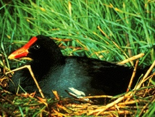 A Mariana common moorhen is shown in this file photo.