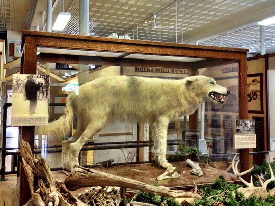 The legendary Ghost Wolf, a white wolf that preyed on calves and eluded capture for 15 years is now on display at the Basin Trading Post.