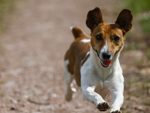 78. Russell terriers • 2016 rank: 90 • 2007 rank: N/A