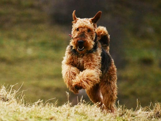 55. Airedale terriers • 2016 rank: 55 • 2007 rank: