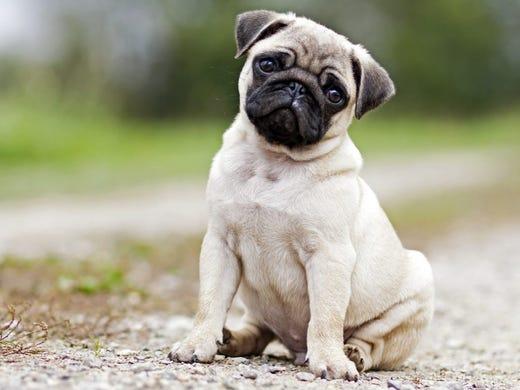 31. Pugs • 2016 rank: 32 • 2007 rank: 14 • Pugs have