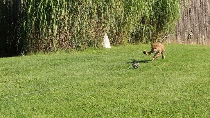Donni the cheetah during his first time chasing a lure at The Cincinnati Zoo.