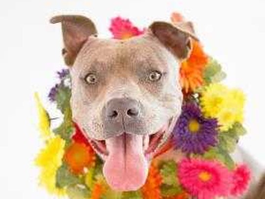 April - Female (spayed) pitbull mix, about 2 years