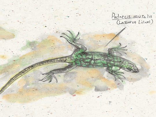 An illustrated look at the Lazarus lizard. Yellow and