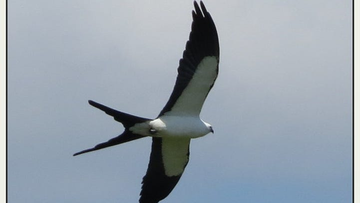 Where are the swallow-tailed kites? Help us find them in the Fort Myers area
