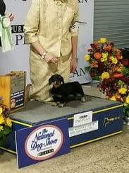 Literally born during the 2017 Mt. Angel wiener dog races, Mt. Angel BB (beautiful baby) went on to become a champion dog-show dachshund before her first birthday. She's shown here with her handler, Margery Good.
