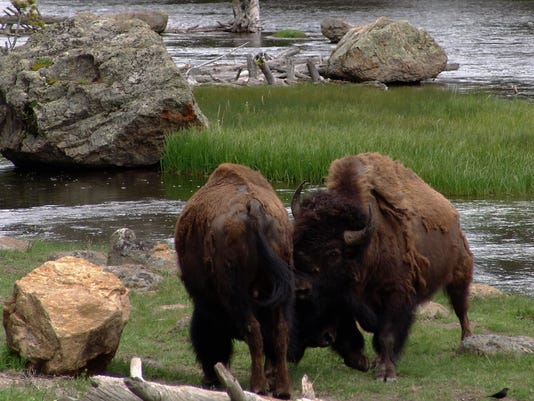 -bison butting.jpg_20150609.jpg