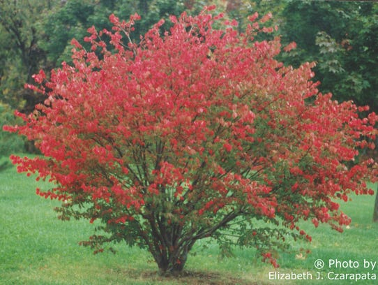 Burning Bush is an invasive species with many versions,