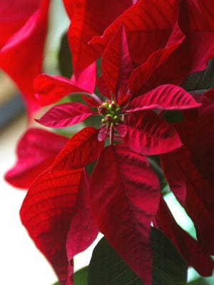 Poinsettias can remain beautiful far beyond the holiday season if cared for.