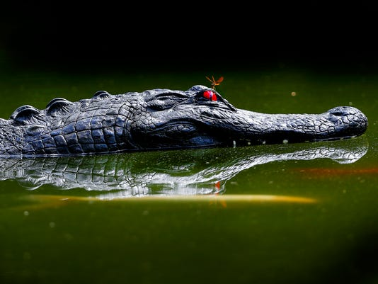 fake alligator head lead