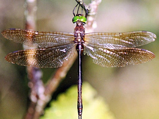 HINES EMERALD DRAGONFLY