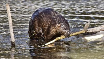 This is the kind of beaver that's gnawing away at Mason's Pine Hill Lakes Park.