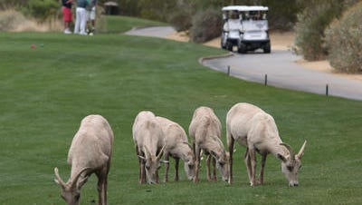 Federal and state agencies are mandating that the city of La Quinta and Coachella Valley Conservation Commission put up a barrier that would keep the endangered Peninsular bighorn sheep off of SilverRock and other courses in La Quinta.