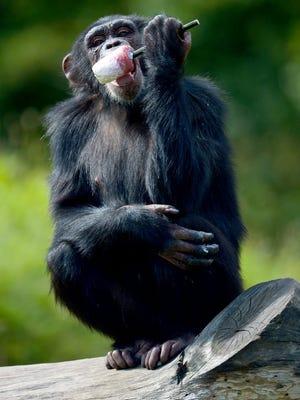 A chimpanzee licks a popsicle at Serengeti Park in Hodenhagen, Germany.