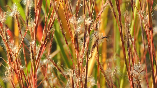 Leave ornamental grasses, like this little blue stem, standing over winter for their color and texture, as well as rich source of food for winter birds.